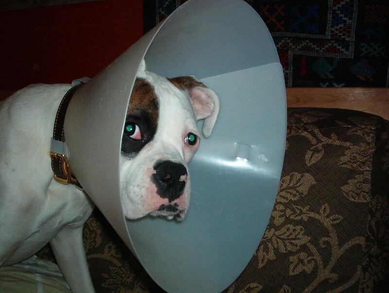 1280px-Cone-head_Reni_-_dog_in_Elizabethan_collar.jpg